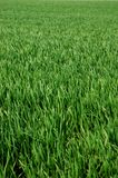 Grass. A shot of green grass can be used as texture Royalty Free Stock Image