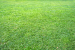 Grass. Above background green grass that grows short and dry patches are part of the field Stock Images