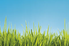 Grass against blue background Stock Image