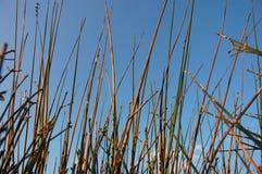 Grass against blue Sky Stock Image