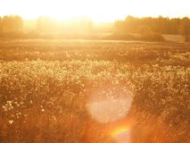 Grass against the setting sun Royalty Free Stock Photo