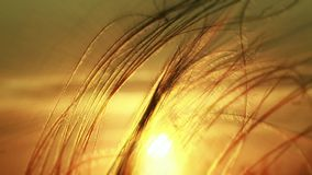 Grass Against The Setting Sun stock video footage