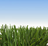Grass against the sky Stock Photography
