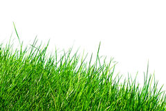 Grass against white. Blades of grass isolated against white background royalty free stock photo
