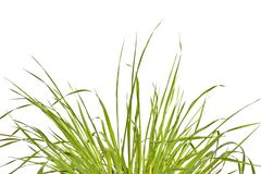 Grass against a white background Royalty Free Stock Photo
