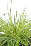 Grass against a white background Stock Photography