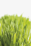 Grass against white background Stock Photography
