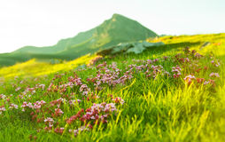 Grass at Alpine meadow Stock Image