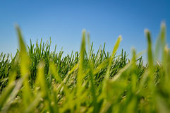 Free Grass And Blue Sky Royalty Free Stock Images - 60018959