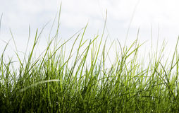Grass And Sky For Your Environment Royalty Free Stock Image