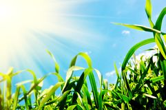 Grass And Sun Royalty Free Stock Photos