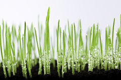 Grass And Water Drops Royalty Free Stock Image