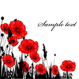 Grass ang red poppie. Isolated on white Stock Photography