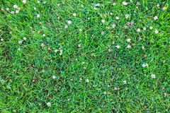 Grass as background. Grass with clover bright textured background stock photo