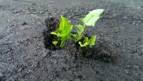 Grass through the asphalt. Green grass made its way through the black asphalt stock image