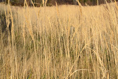 Grass. Autumn dry grass and its stalk useful as a background stock photo
