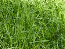 Grass background. In order to use as texture in different designs Royalty Free Stock Images