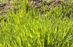 Grass background. Grass lawn background under sun,taken in early spring Stock Photos