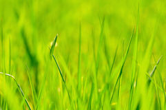Grass background. An abstract green grass background Stock Image