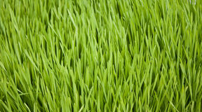 Grass Background. Background image of healthy green grass blades Royalty Free Stock Photography