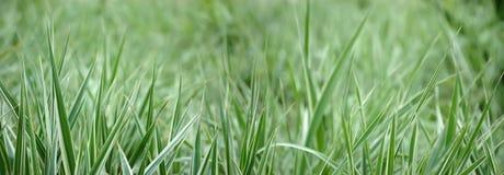 Grass background. Fresh green grass background, panoramic shot stock photos