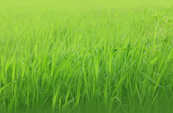 Grass background. Abstract grass background on the meadow Royalty Free Stock Image