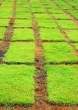 Grass background. Background grass and soil are vertical line Stock Photo