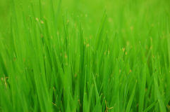 Grass background. Close up pf summer green grass Royalty Free Stock Image