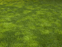 Grass background. Reseeded grass lawn creates fresh green background Stock Image