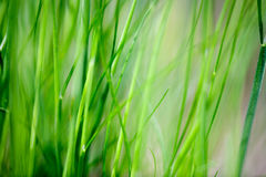 Grass Background. An abstract grass background with light motion blur on some of the blades Royalty Free Stock Images