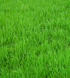 Grass background. Close-up image of fresh spring green grass Stock Photography