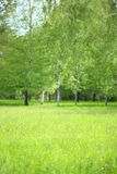 Grass on a background of birch trees Royalty Free Stock Images
