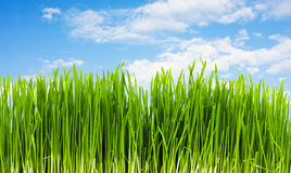 Grass on a background of blue sky Stock Photo