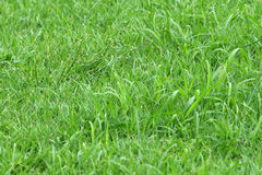 Grass background. Close up Grass background texture royalty free stock photography