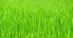 Grass background with drop of dew Stock Photography