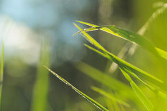 Grass Background. A few grass leaves in the foreground with a blurred blue, green and grey background Royalty Free Stock Images