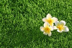 Grass background & flowers Royalty Free Stock Image