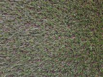 Grass background. Fresh lawn grass texture. Perfect green grass. Carpet. Grass backdrop for your design Royalty Free Stock Photo