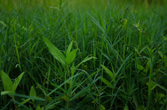 Grass background , grass. Picture grass background of green Royalty Free Stock Photo