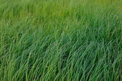 Grass background. Royalty Free Stock Images