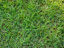 Grass background. Green grass natural texture background Royalty Free Stock Image