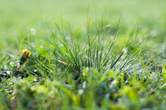 Grass, background, green, nature, spring, lawn, summer, growth, morning Royalty Free Stock Images