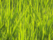 Grass background horizontal. Close-up of grass for use as a background & texture Stock Images