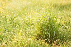 Grass background. Background made of grass covered by early morning dew drops Stock Image