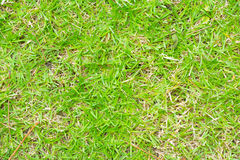 Grass background. In my garden Stock Photography