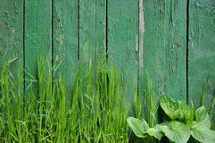 Grass on a background of an old fence. Green background - juicy grass on a background of an old fence Stock Photo