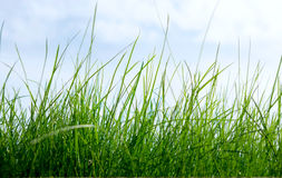 Grass on a background of the sky Stock Image