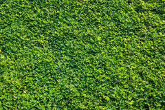 Grass background(Laughing Yell, Arachis pintoi, pinto peanut) Royalty Free Stock Image