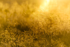 Grass with backlight in the evening, (abstract background) Royalty Free Stock Images