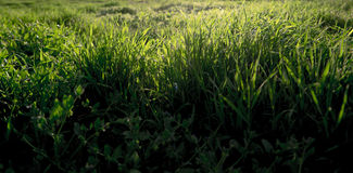 Grass backlit a lot of copyspace on foreground Stock Photos